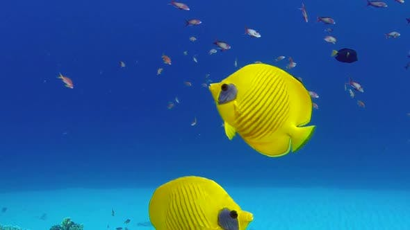 Thumbnail for Underwater Colorful Tropical Fish Butterflyfish