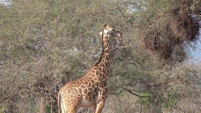 Giraffes graze on the Savannah of South Africa.
