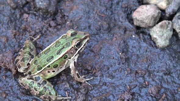 Thumbnail for Northern Leopard Frog Adult Lone Resting in Summer in South Dakota