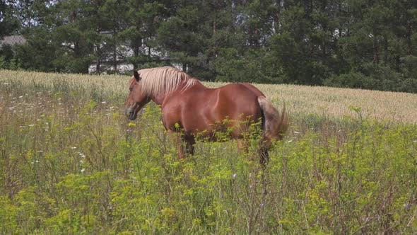 Thumbnail for Horse in Meadow
