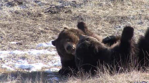 Grizzly Bear Immature Pair Bears Playing Play Wrestling in Winter