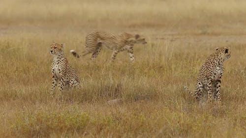 Three Cheetahs On Plains