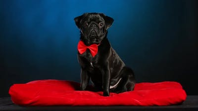 A Black Pug Gentleman in a Red Bow Tie Sits on a Red Pillow and Looks Around