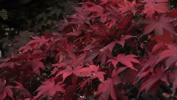 Thumbnail for Red Maple Leaves