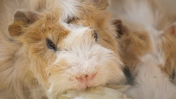 Thumbnail for Two Guinea Pigs Eating Cabbage Actively in a Zoo on a Sunny Day in Summer