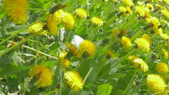 Thumbnail for Lot of Taraxacum flowers natural background 4K 3840X2160 UHD footage - Beautiful yellow dandelion fl