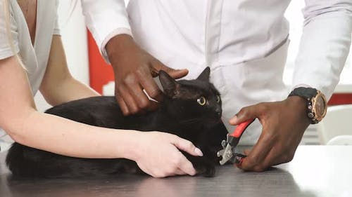 Cat's Getting a Nail Trim. Trimming Cat's Nails. By Vet
