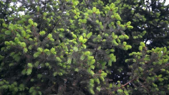 Cover Image for Branches Green Spruce