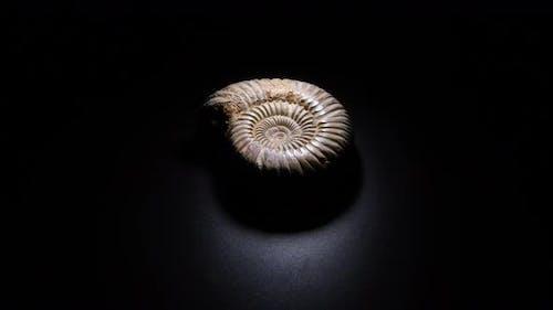 Ammonite Prehistoric Fossil Gyrating