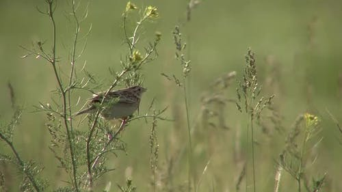 Grasshopper Sparrow Adult Lone Calling Singing Song in Summer Wind Breeze