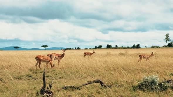 Thumbnail for Gazelles On Yellow African Plains