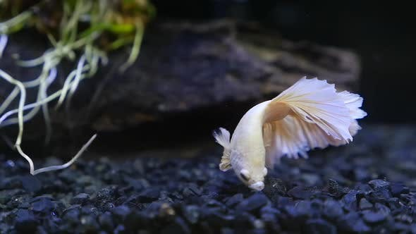 Close Up Of  Marble Siamese Fighting Fish In A Fish Tank Slow Motion
