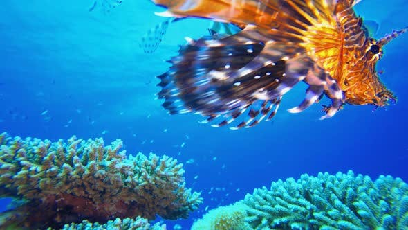 Thumbnail for Tropical Coral Garden Underwater Lionfish