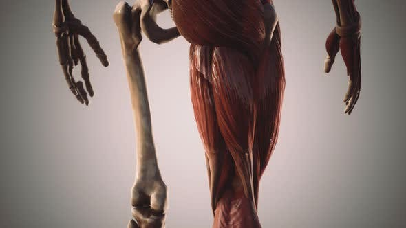 Thumbnail for Muscular and Skeletal System of Human Body