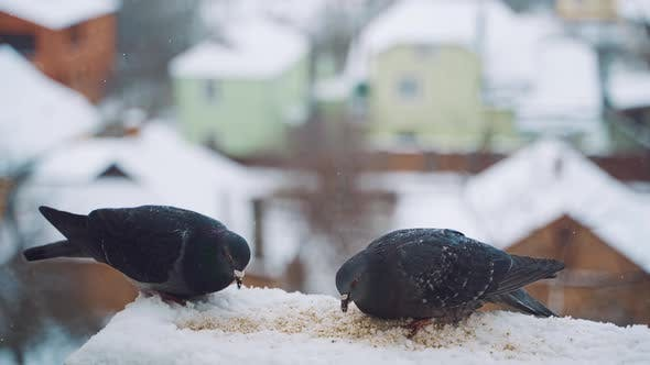 Thumbnail for Pigeons Eating in Cold Winter Outdoors