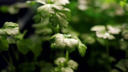 Celery Seedling at Rain