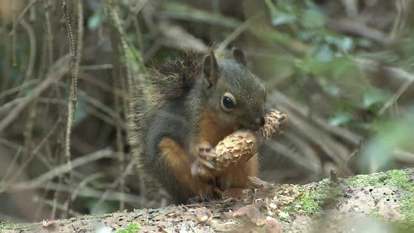 Thumbnail for Douglas Squirrel Adult Lone Eating Feeding in Autumn Cone Seeds Cute