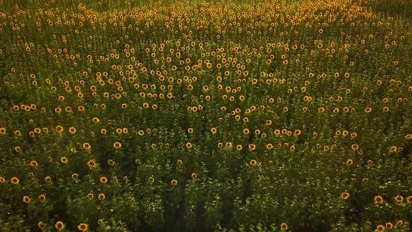 Thumbnail for Flying Above Sunflower Field