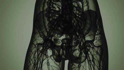 3D MRI Woman Body Scan