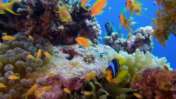 Thumbnail for Underwater Colorful Tropical Fishes with Clownfish