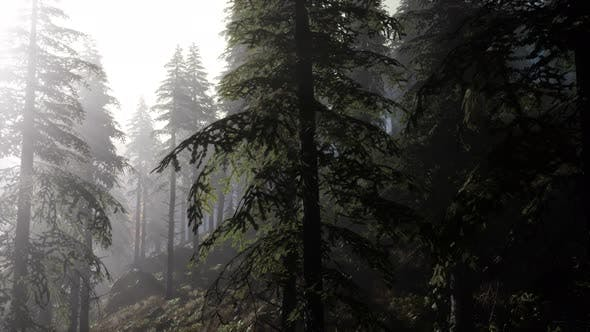 Thumbnail for Calm Moody Forest in Misty Fog in the Morning