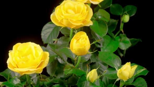 Zeitraffer der Öffnung gelbe Rose Blume