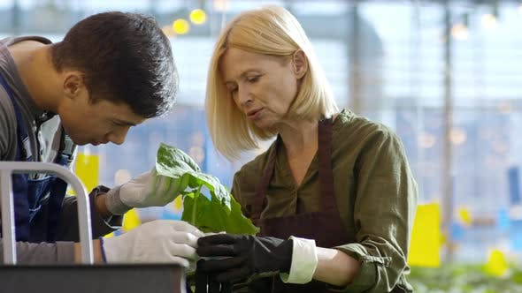 Cover Image for Female Greenhouse Worker Teaching Newbie