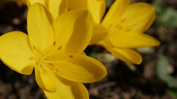 Thumbnail for Yellow crocus flower stigmas and petals 3840X2160 UltraHD footage - Close-up  plant lily-of-the-fiel