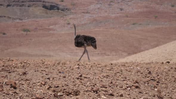 Thumbnail for Ostrich walks on a dry savanna