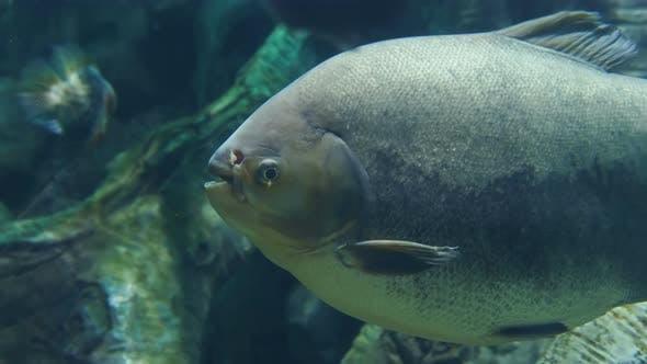 Thumbnail for Tambaqui, or Colossoma Macropomum, or Black Pacu, Black-finned Pacu, Giant Pacu, Cachama, Gamitana