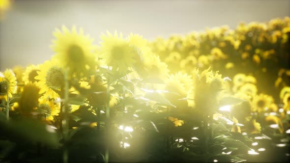 Sunflower Field on a Warm Summer Evening