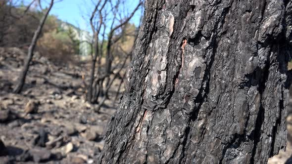 Thumbnail for Black Tree Trunk and Branch With Ash After a Forest Fire