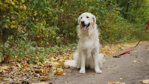 Golden Retriever Dog Sitting on the Ground in the Park