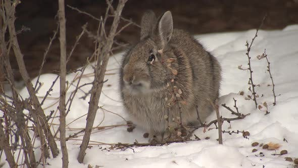 Thumbnail for Cottontail Rabbit Adult Lone Eating Feeding Browsing in Winter Twig Branch Woody Food Shrub