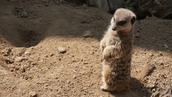 Thumbnail for One Meerkat Standing and Looking Around in a Zoo on a Sunny Day in Summer