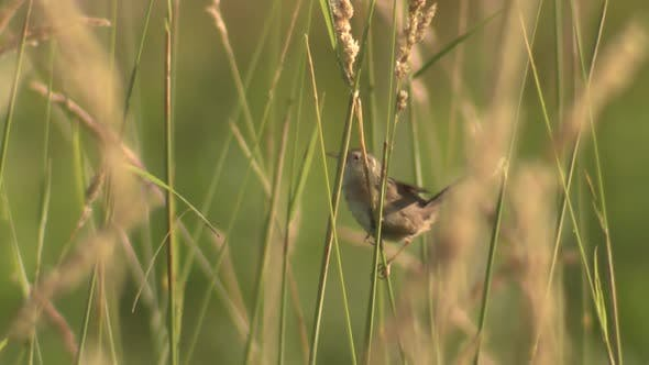 Marsh Wren Bird Calling Singing Song in Summer in Minnesota