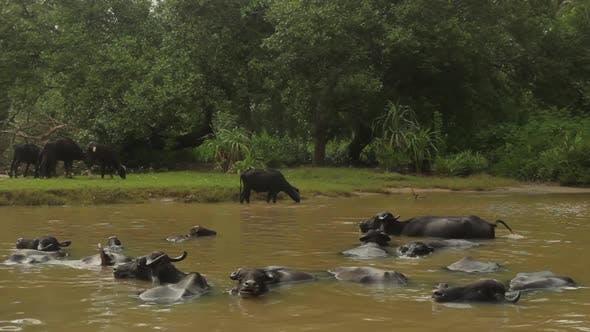 Thumbnail for Animals of Sri Lanka. Buffalos in the Lake.