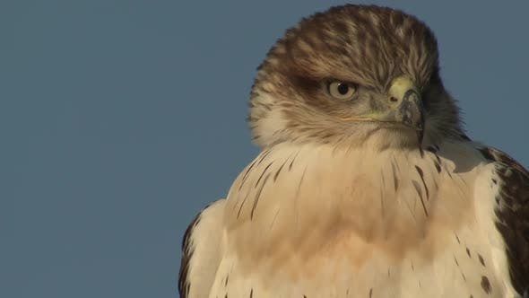 Swainsons Hawk Immature Lone Looking Around in Autumn Eyes Bill Beak