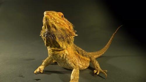 Lizards Bearded Agama or Pogona Vitticeps at Black Background