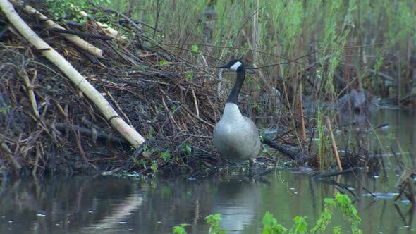 Thumbnail for Canada Goose Adult Lone in Spring Lodge House in South Dakota