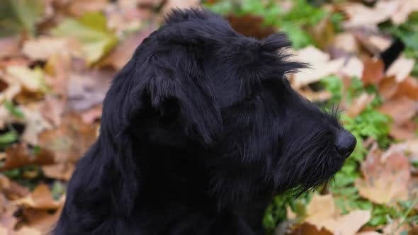 Thumbnail for A Black Giant Schnauzer with Coarse and Long Hair Lies on Fallen Leaves