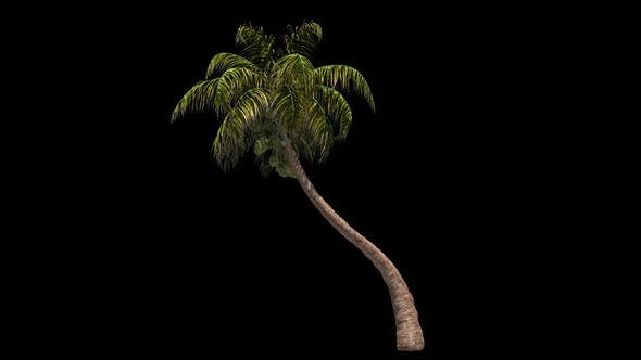 Thumbnail for Coconut Palm Tree Swaying In The Wind
