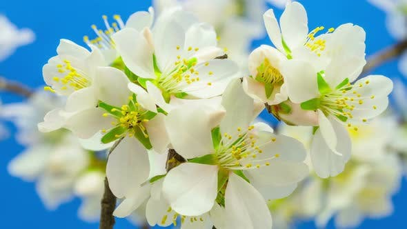Almond Flower Blossom 6