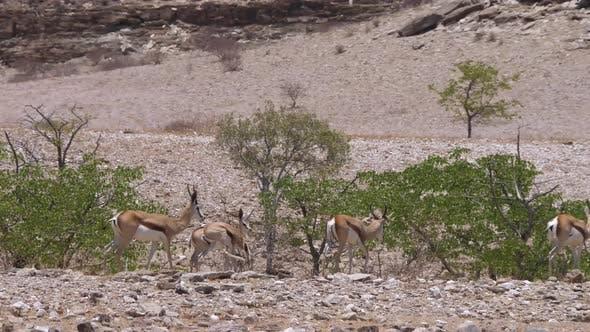 Herd of springboks walking at the Hoanib Riverbed