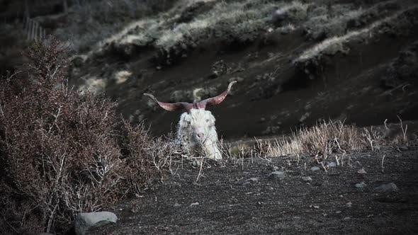 Thumbnail for A Horned Sheep Looking at Camera.