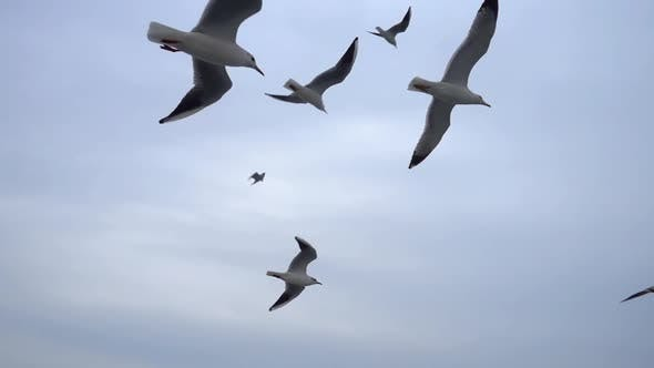 Thumbnail for Seagulls Flying In The Gray Clean Sky. Close Up Flock Of Birds Flies Slow Motion. 13