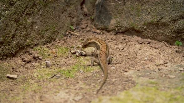 Thumbnail for Lizard Eating Frog