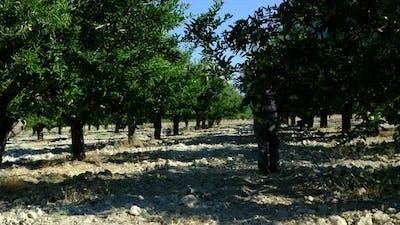 Man Sprays Medicine Apple Orchard