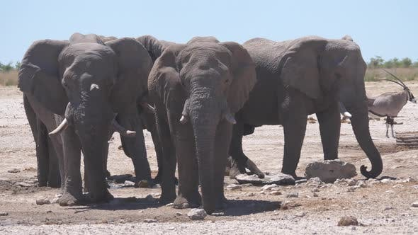 Thumbnail for Herd of elephants on a dry savanna