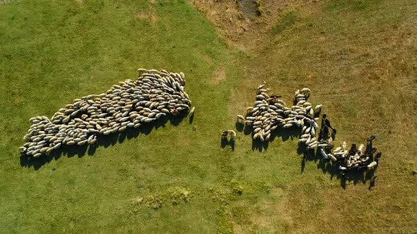 Thumbnail for Sheep Herd Grazing On Pasture